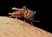 Female yellow fever mosquito