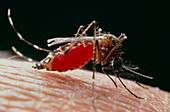 Yellow fever mosquito,Aedes aegypti,on human arm