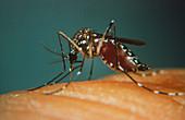 Yellow fever mosquito biting