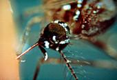 Female mosquito,Aedes aegypti