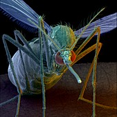 SEM of the mosquito aedes aegypti