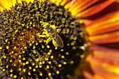 Honey bee pollinating a sunflower