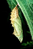 Pupa of small tortoise shell butterfly