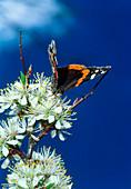 Red admiral butterfly (Vanessa atalanta) feeding