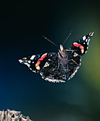 High-speed photo; red admiral butterfly in flight