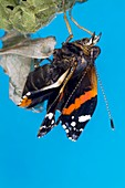 Emerging red admiral butterfly