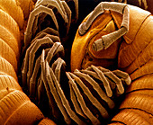 Coloured SEM of a coiled garden millipede