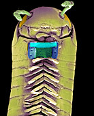 Millipede with microchip,SEM