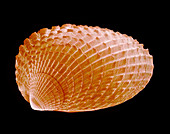 Cockle shell,SEM