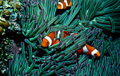 Clown fish,Amphiprion,among anemone tentacles