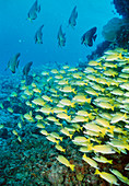 School of bluestriped snappers (Lutjanus kasmira)