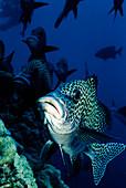 Harlequin sweetlips fish
