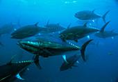 Longtail tuna fish