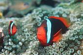 Black anemonefish