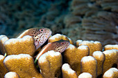 Pair of Forster's hawkfish