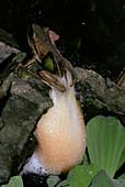 Female foam nest tree frog