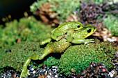 Mating Atelopus frogs