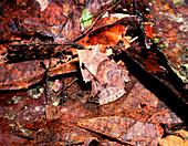 Leaf-camouflaged rainforest frog Agalychnis