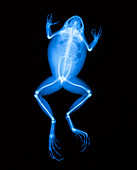 X-ray of a frog