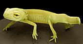 Young newt,SEM