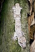 Mossy leaftail gecko on a tree