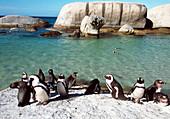 Black-footed penguins