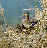 Mallard duck with young