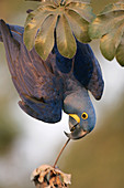 Hyacinth macaw hanging from a branch
