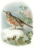 Redwing,historical artwork