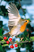European robin taking off
