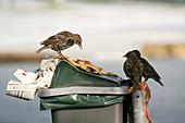 European starlings feeding
