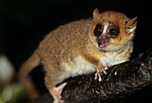 Brown mouse lemur (Microcebus rufus)