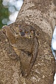 Lemur sitting in the fork of a tree