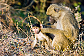 Mother baboon grooming its young