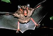 Micronycteris bat