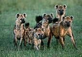 Pack of spotted hyenas (Crocuta crocuta)