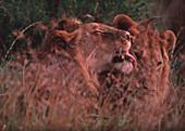 Lions grooming