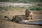 Cheetahs by water