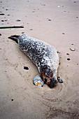 Seal killed by distemper