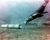 US Navy sea lion training underwater