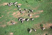 Aerial view of elephant herd (Loxodonta africana)