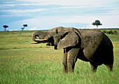 African elephant (Loxodonta africana) feeding