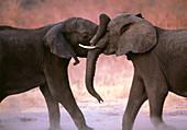 African elephants (Loxodonta africana) sparring