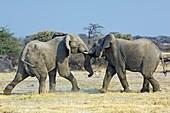African elephant bulls fighting