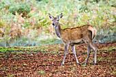 European red deer doe