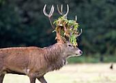Male European red deer