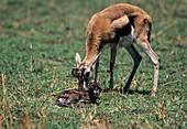 Newborn Thompson's gazelle