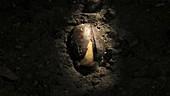 Germinating acorn, timelapse