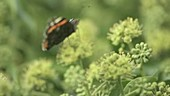 Red admiral butterfly on ivy