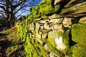 Moss on a drystone wall